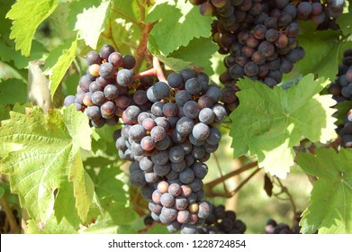 Grapes on a grapevine with wood background