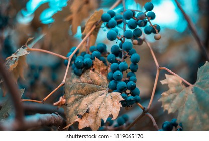 """Grapes on the """"Orange and teal preset"""""""