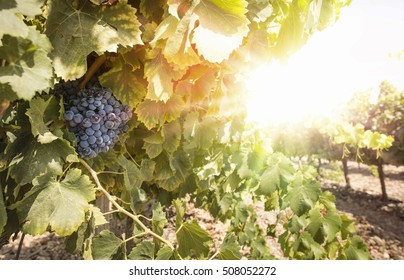 Grapes on sunset. Yellow red sun rays. Backlight sun