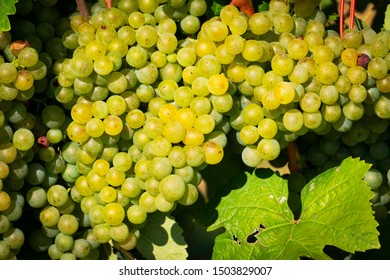 Grapes On Vine, agriculture fruits for wine making