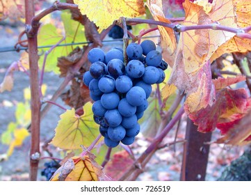Grapes on the Vine in Autumn