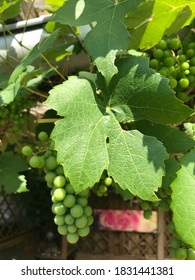Grapes on vine with green leaf