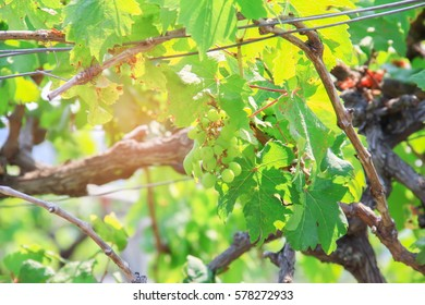 Grapes on the vine in a sunny vineyard