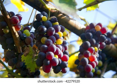 Grapes on the vineyard