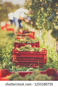 Grapes packed in basket in vineyards. Grape harvesting