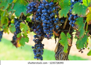 Grapes Ready to Harvest Hanging on a Grapevine