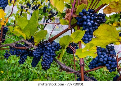 Grapes ready for harvest in a vineyard in Annapolis Valley, Canada
