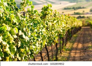 Grapes of red vine on vineyeard