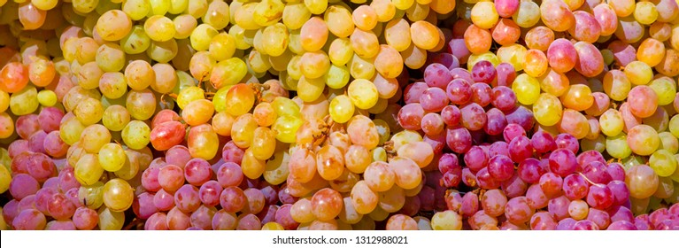 Grapes A lot of ripe grapes close-up. The texture of the berries as a background. Winery Italy grape variety wine production. Grape sort. Long banner