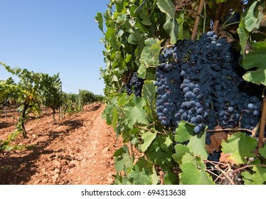 Grapes ripening on stock in a Mallorca vineyard on a sunny day in Mallorca, Spain.