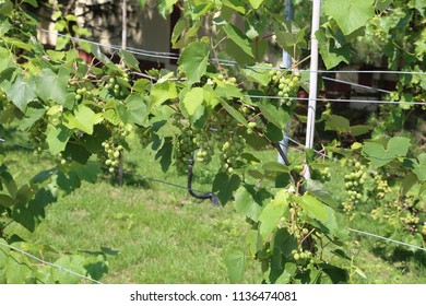 Grapes are ripening in the vineyard