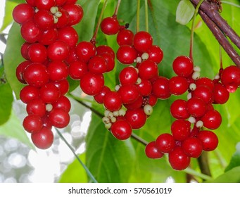 Grapes Schisandra autumn in the garden