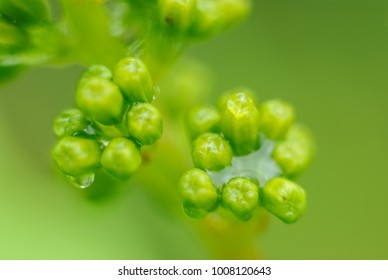 Grapes in spring / Green grapes with the water drops in the hungarian wineyard