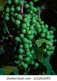 Grapes that are green and ripening on the vine in North Carolina
