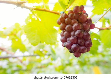 Grapes that are growing on a complete tree