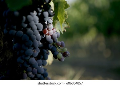 Grapes in a Tuscan vineyard, Montepulciano Italy