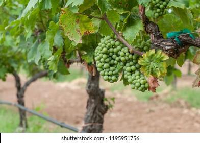 Grapes from Valle de Guadalupe vineyards near Ensenada Baja California. MEXICO