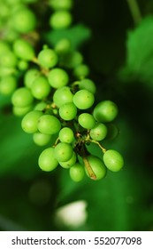 Grapes in vineyard with blurred green leaves in Cameron Highlands.