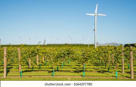 Grapes vineyard in Hawke's Bay the oldest wine region in New Zealand.