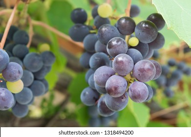 Grapes in vineyard, Isabella wine grapes