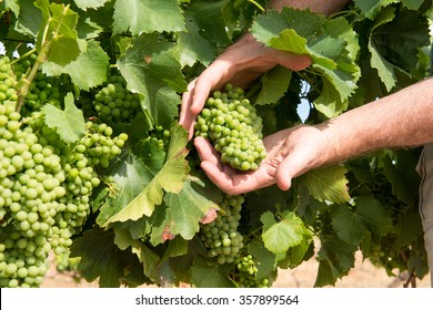 Grapes in a vineyard on a wine farm with two male white hands