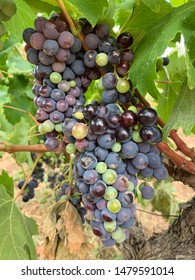 grapes in a vineyard in the Penedes area for the production of Catalan cava Catalonia Spain Europe