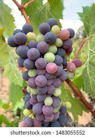 Grapes in a vineyard to produce cava wine in Penedes region in Catalonia Spain