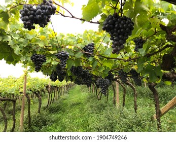 Grapes in a vineyard in Southtyrol