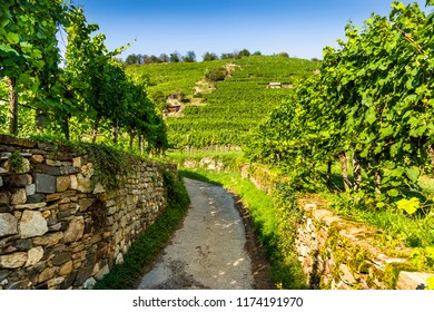 Grapes in vineyard in the Wachau, Austria. Europe