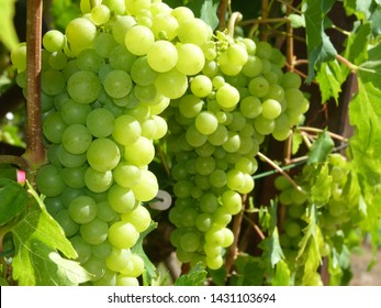 Grapes of a white typ of grape just before Harvest,