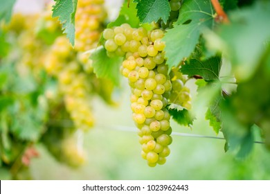 grapes for white wine chardonnay