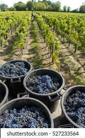 Grapes wine harvest, Bordeaux Vinyard, France, Europe