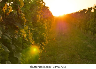 Grapes-Bordeaux Wineyard at Sunset