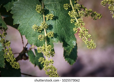 Grapevine with baby grapes and flowers - flowering of the vine with small grape berries. Young green grape branches on the vineyard in spring time.