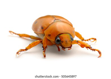 Grapevine beetle on white background.  Photographed in Virginia, USA.