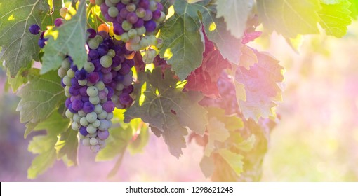 Grapevine of Cabernet Sauvignon with colorful berries in the morning sunlights. Bunches of grapevine on a french vineyard for your background about the wine industry or alcoholic drinks presentation.
