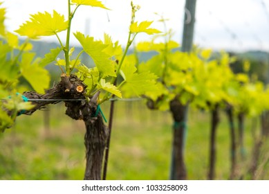 Grapevine detail with leaves and pruning marks on a Tuscan vineyard farm with leaves, vines, wide view of field of plants to grow grapes.