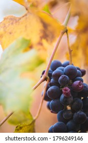 Grapevine details in autumn in Italy.