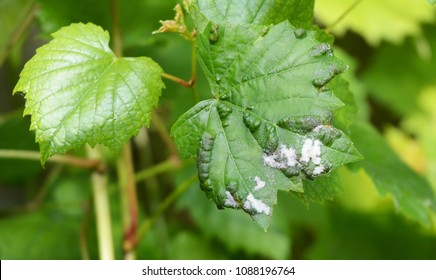 Grapevine diseases. Downy Mildew (Plasmopara vitikola) is a fungal disease that affects a grape leaves.