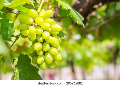 grapevine in  garden  ; selective focus with blur background.