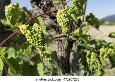 grapevine infected by phylloxera parasite in vineyard