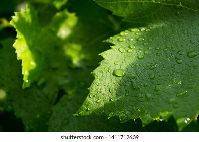 Grapevine Leaves Vineyard drops covered in raindrops -Image