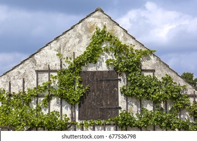 Grapevine on a house wall with wooden door.