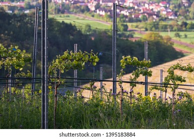a lot of Grapevine Plants in the vineyard at spring time on a sunny morning