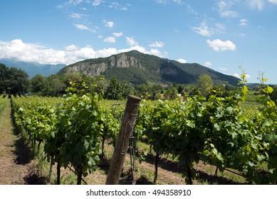 Grapevine rows - Italy, Franciacorta