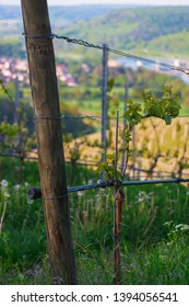 Grapevine in the slope at springtime