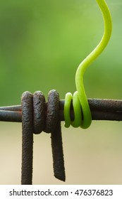 Grapevine tendril around the barbed wire