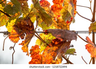 Grapevine in vibrant autumn colors after harvest. Burgenland, Austria.