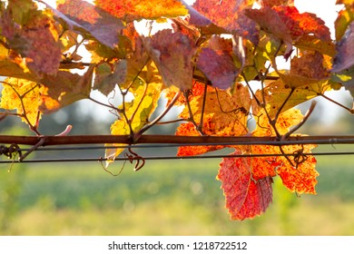 Grapevine in vibrant autumn colors after harvest. Burgenland, Austria.