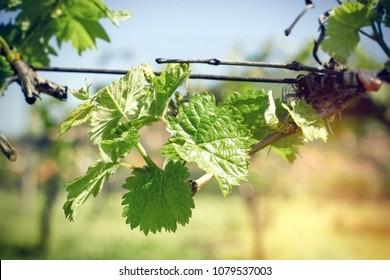 Grapevine, vine leaf - fresh leaves of grapevine (vine) in spring
